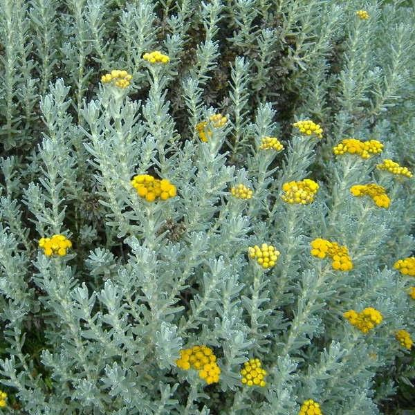 Immortelle (Helichrysum) - AromaworX.ca